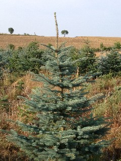 wie lange hält weihnachtsbaum